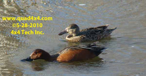 Cinnamon Teal in Montana